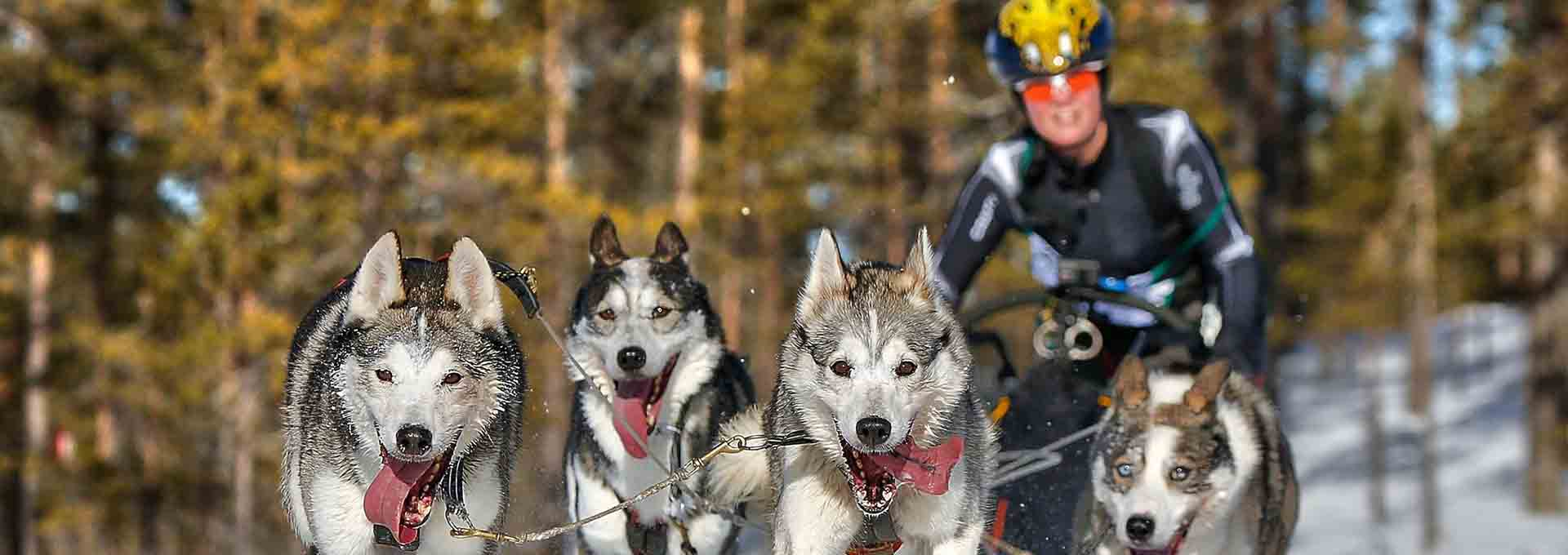 sleddog and skier